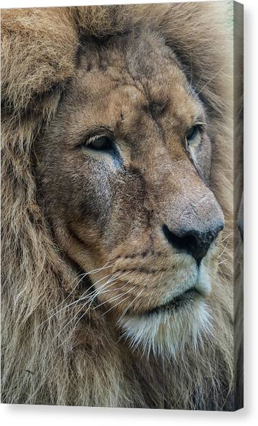 Canvas Print featuring the photograph Lion by Anjo Ten Kate