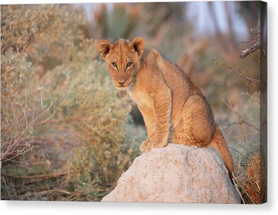Canvas Print featuring the photograph Lion Cub On Termite Hill by John Rodrigues