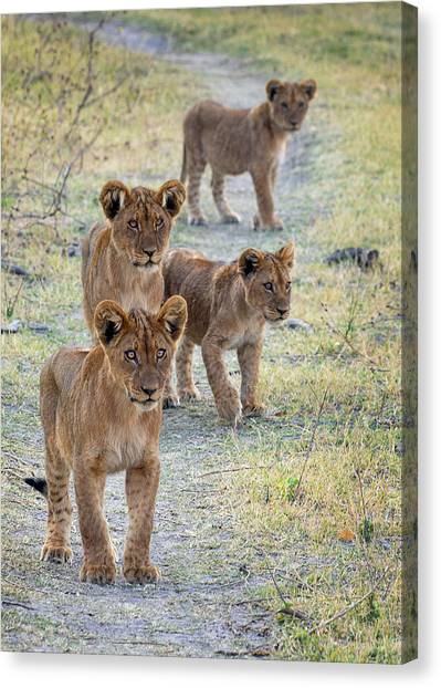 Canvas Print featuring the photograph Lion Cubs On The Trail by John Rodrigues