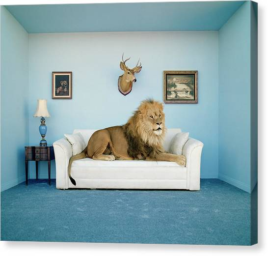 Lion Lying On Couch, Side View Canvas Print