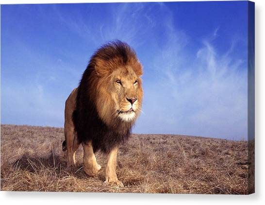 Lion Panthera Leo Canvas Print