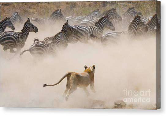Zoology Canvas Print - Lioness Attack On A Zebra. National by Gudkov Andrey
