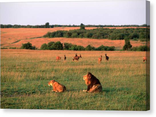 Lions And Lioness Panthera Leo Watching Canvas Print by Martin Harvey