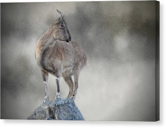 Little Rock Climber Canvas Print