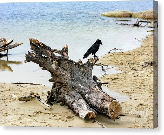 Lone Carmel Crow Atop Driftwood Canvas Print