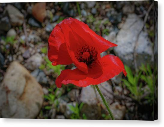 Lone Red Flower Canvas Print