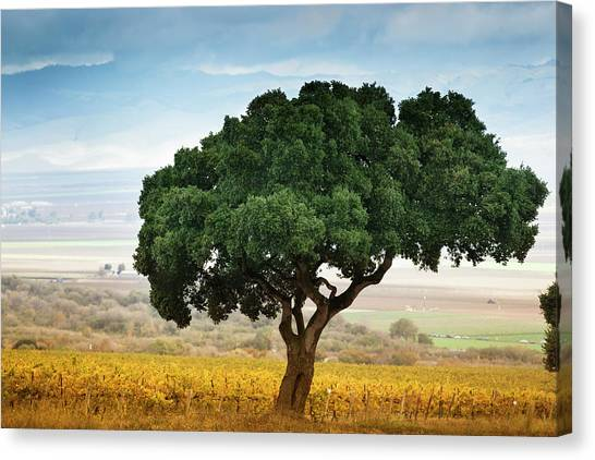 Sonoma Valley Canvas Print - Lone Tree In Carmel Valley by Pgiam