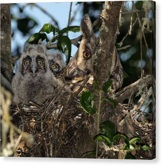 Long-eared Owl And Owlets Canvas Print