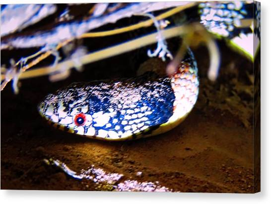 Canvas Print featuring the photograph Longnosed Snake Portrait by Judy Kennedy