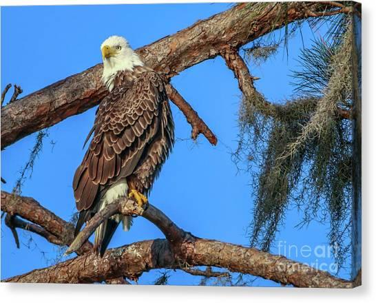 Canvas Print featuring the photograph Lookout Eagle by Tom Claud