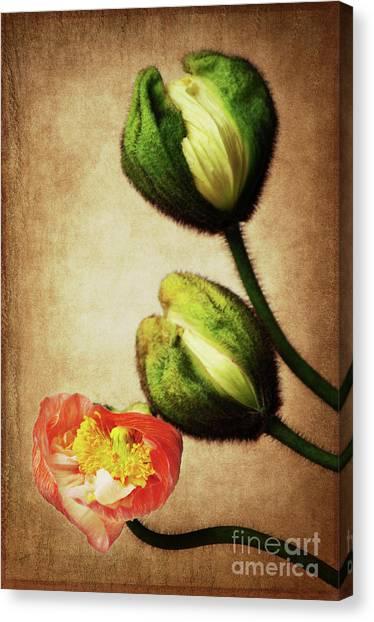 Love Poppies Canvas Print