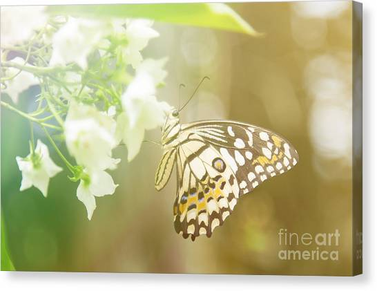 Yellow Butterfly Canvas Print - Lovely Butterfly On White Flowers With by Fecundap Stock