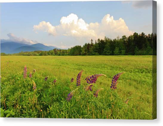 Lupine Lupinus In The White Mountains Canvas Print