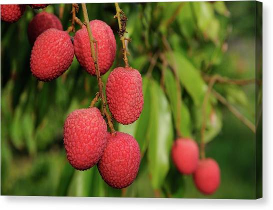 Lychee Fruit On Tree Canvas Print