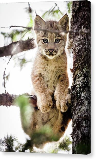 Lynx Kitten In Tree Canvas Print