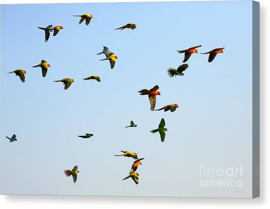 Macaw Canvas Print - Macaw And Sun Conure Flock Of Flying In by Jeep2499