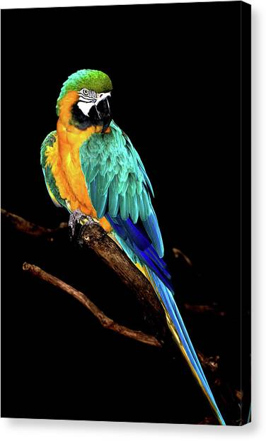 Macaw Canvas Print by David Keith Jr. (all Rights Reserved)