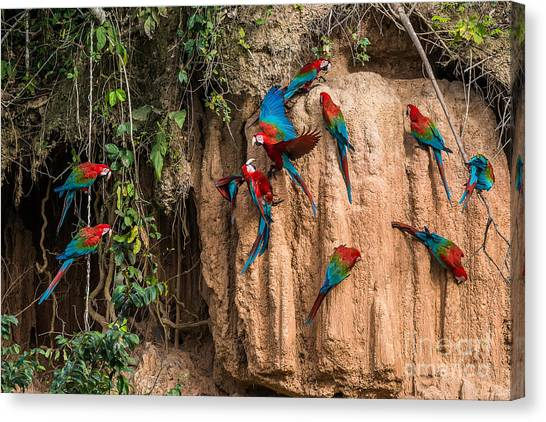 Clay Canvas Print - Macaws In Clay Lick In The Peruvian by Ostill Is Franck Camhi