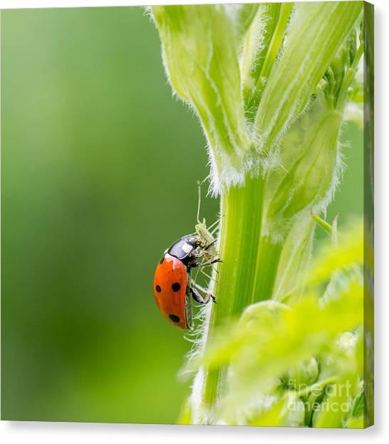 Macro Of Ladybug Adalia Bipunctata Canvas Print by Jolanda Aalbers