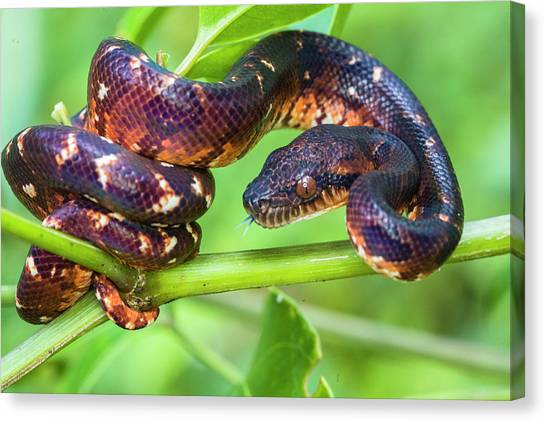 Canvas Print - Madagascar Ground Boa Acrantophis by Panoramic Images