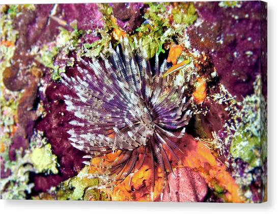 Magnificent Feather Duster Canvas Print
