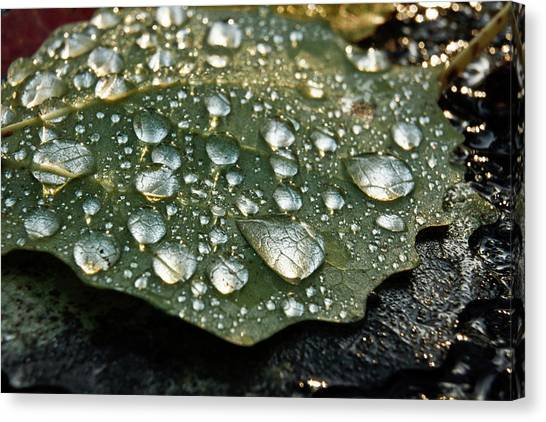 Magnifying Water Drops On Common Aspen Canvas Print