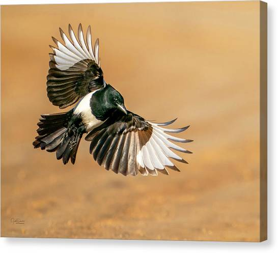 Magpie Beauty Canvas Print