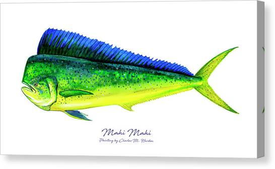 Florida Wildlife Canvas Print - Mahi Mahi by Charles Harden