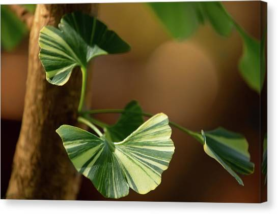 Canvas Print featuring the photograph Maidenhair Tree by Dale Kincaid