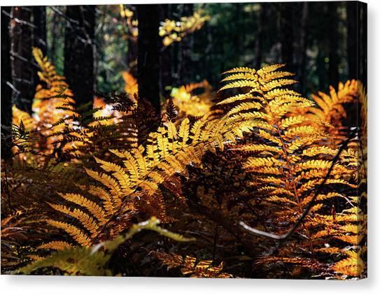 Maine Autumn Ferns Canvas Print