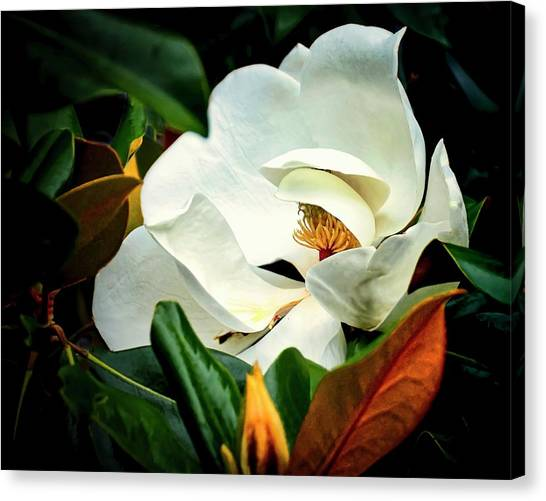 Majestic Magnolia Flower Canvas Print