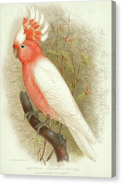 Cockatoos Canvas Print - Major Mitchell's Cockatoo by Gracius Broinowski