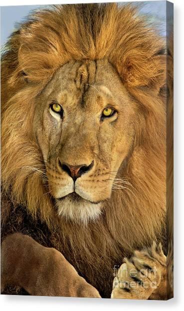 Male African Lion Portrait Wildlife Rescue Canvas Print
