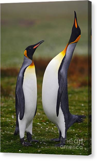 Male And Female Of King Penguin, Couple Canvas Print by Ondrej Prosicky