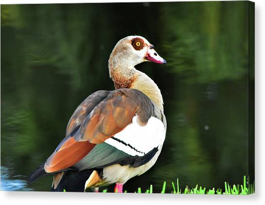 Male Egyptian Goose Canvas Print