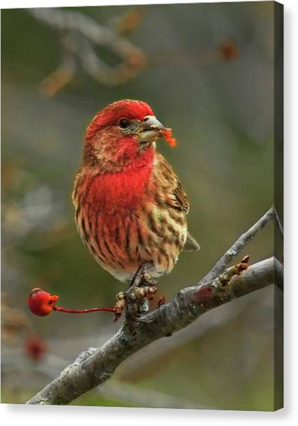 Male House Finch With Crabapple Canvas Print
