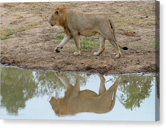Male Lion And His Reflection Canvas Print