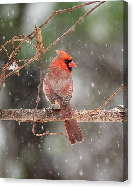 Male Red Cardinal Snowstorm Canvas Print
