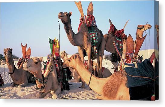 Mali, Timbuktu, Sahara Desert, Camels Canvas Print by Peter Adams
