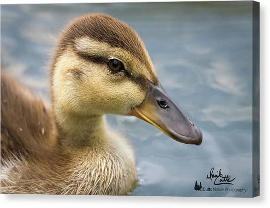 Mallard Duckling Canvas Print