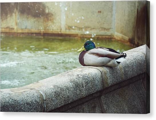 Mallard Resting On The Fountain Of The Fallen Angel In The Retiro Park - Madrid, Spain Canvas Print