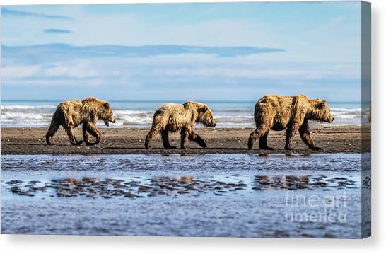 Mama Bear And Her Two Cubs On The Beach. Canvas Print
