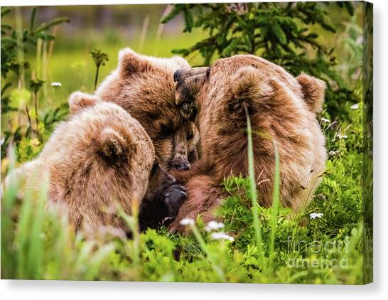 Mama Bear Nursing Her Two Cubs, Lake Clark National Park, Alaska Canvas Print
