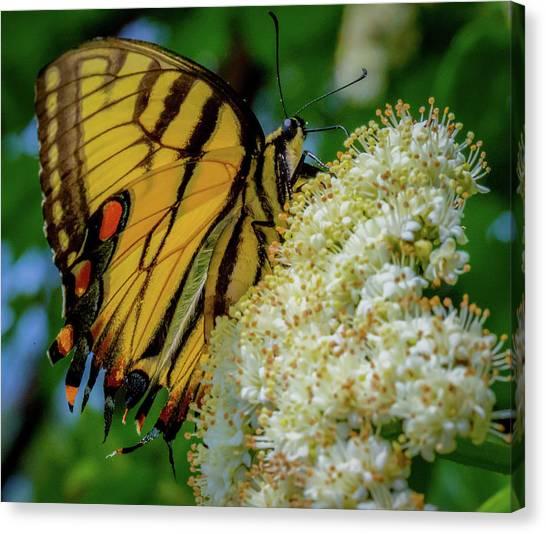 Manassas Butterfly Canvas Print