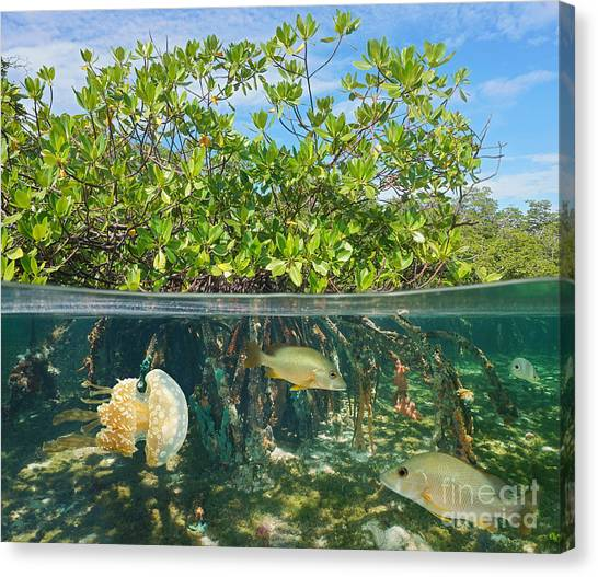 Mangrove Above And Below Water Surface Canvas Print by Damsea