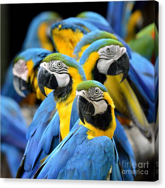 Many Of Blue And Gold Macaw Perching Canvas Print by Super Prin