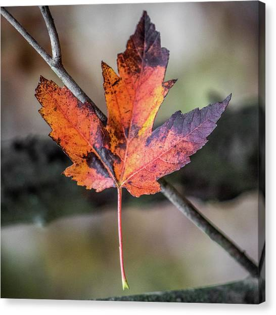 Canvas Print featuring the photograph Maple 1 by Michael Arend