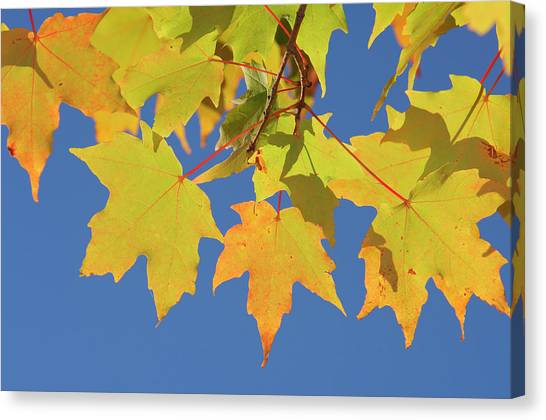 Maple Acer Sp. Autumn Leaves Against Canvas Print by Martin Ruegner
