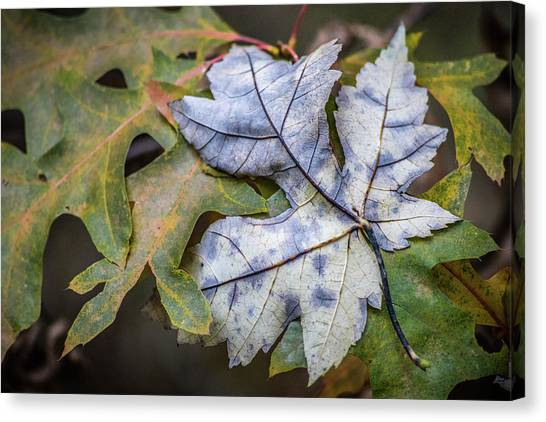 Maple And Oak Canvas Print