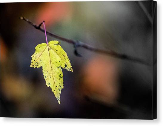 Canvas Print featuring the photograph Maple Flag by Michael Arend